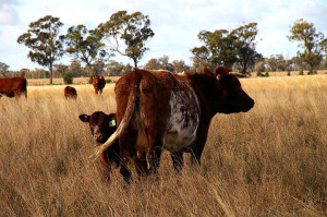 Quality commercial cow of Tarwong breeding.