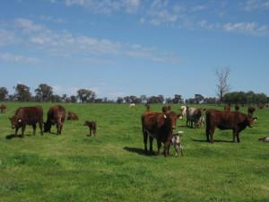Toogimbie calving heifers