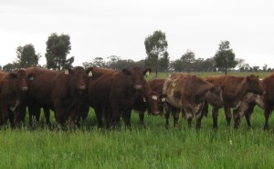 Heifers 13 Sept