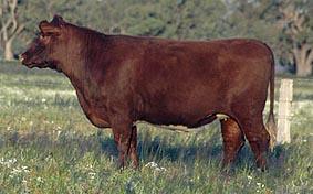 Broome Novice Kim, heifer by Attraction.