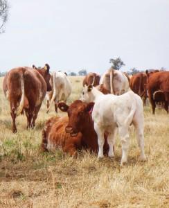 Shorthorn cow byRoyalla Jedazzle